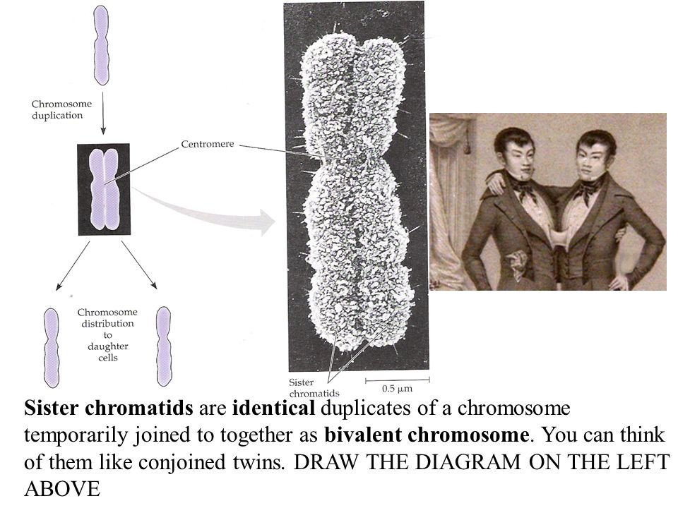 Sister chromatids are identical duplicates of a chromosome temporarily joined to together as bivalent chromosome.