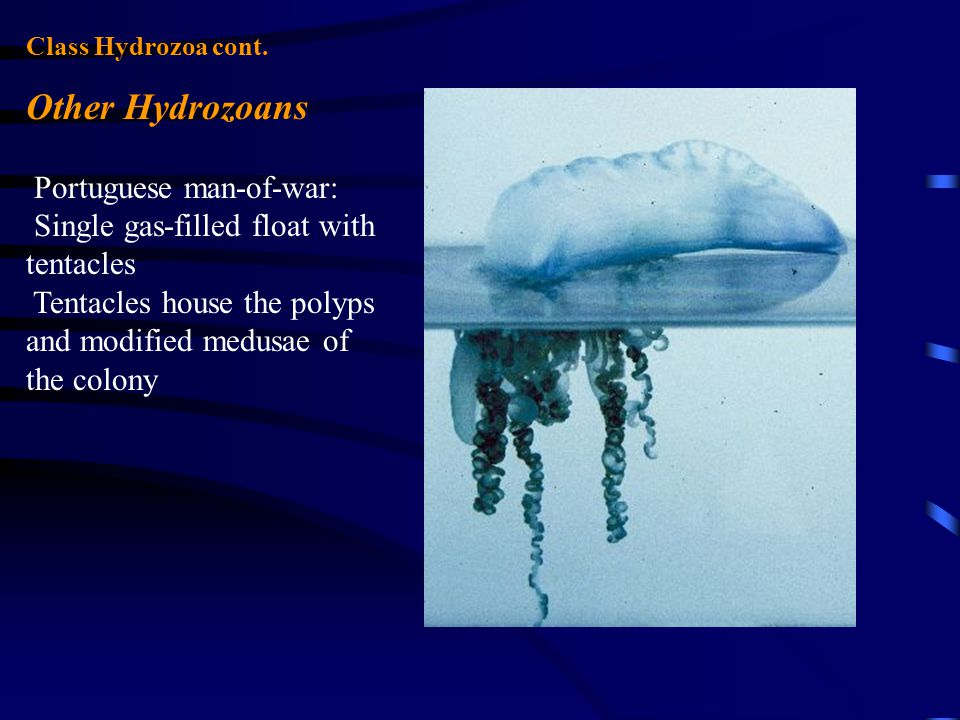 Other Hydrozoans Portuguese man-of-war: