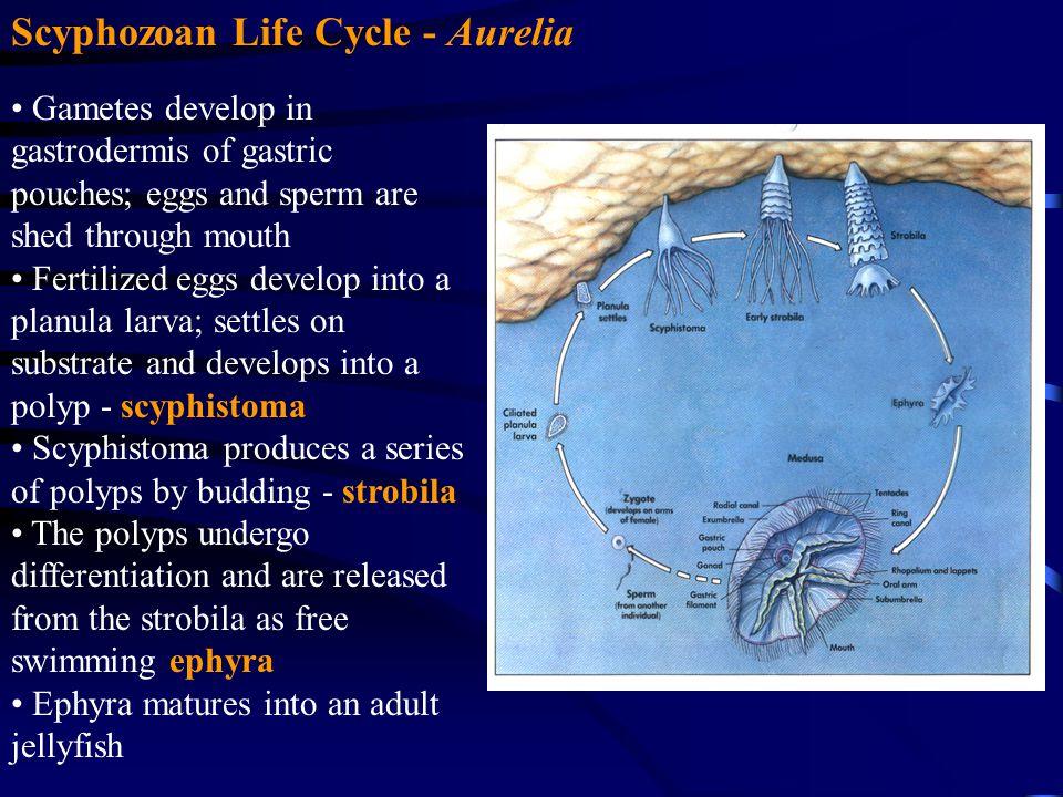 Scyphozoan Life Cycle - Aurelia