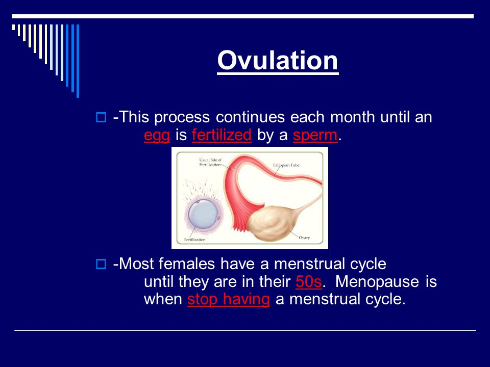Ovulation -This process continues each month until an egg is fertilized by a sperm.