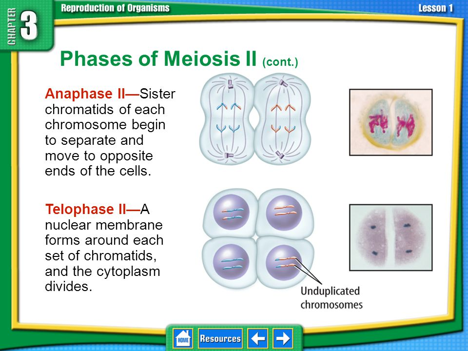 Phases of Meiosis II (cont.)