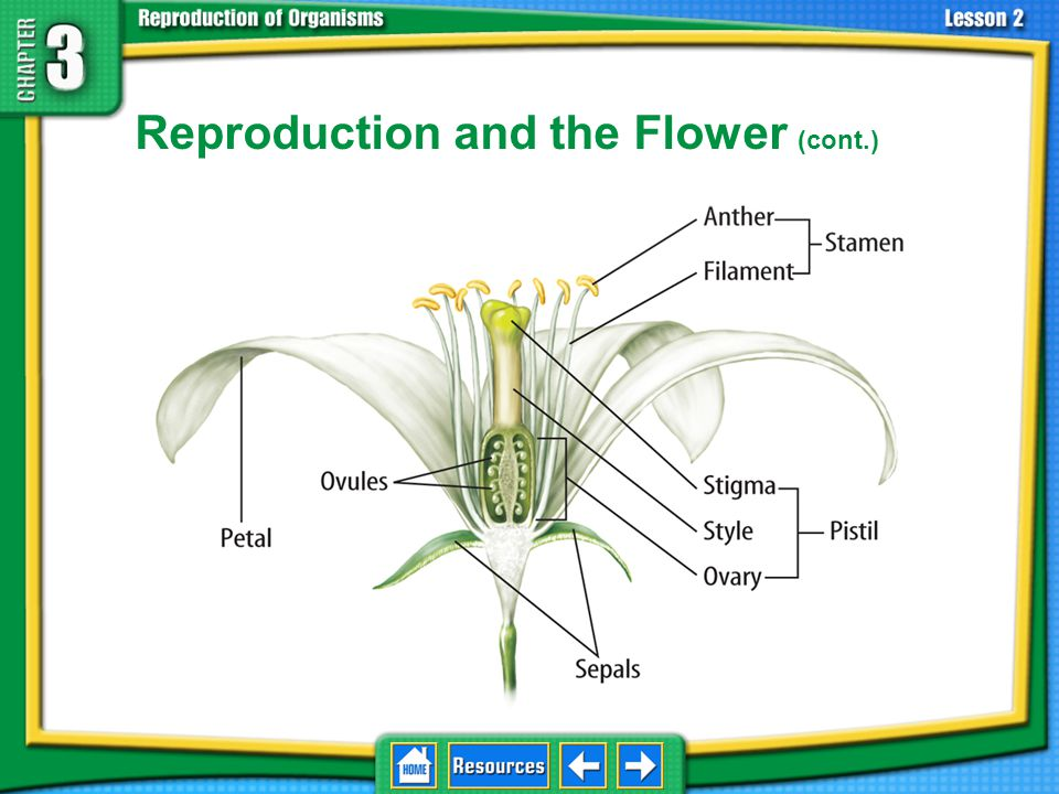 Reproduction and the Flower (cont.)
