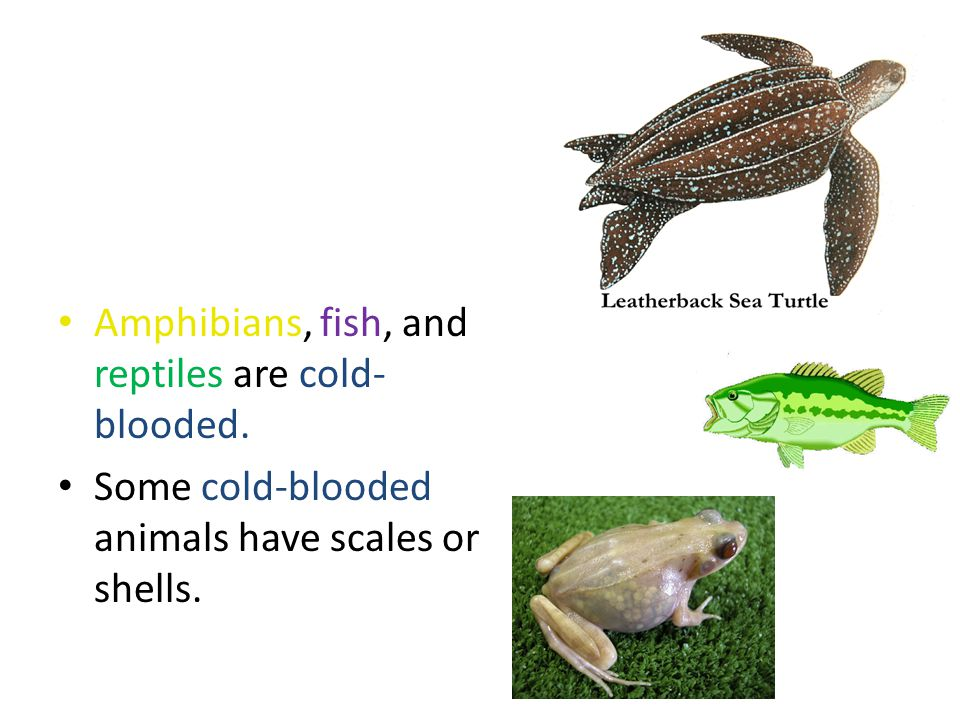 Amphibians, fish, and reptiles are cold-blooded.