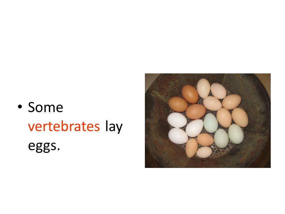 Some vertebrates lay eggs.