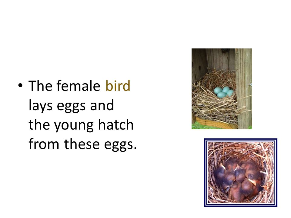 The female bird lays eggs and the young hatch from these eggs.
