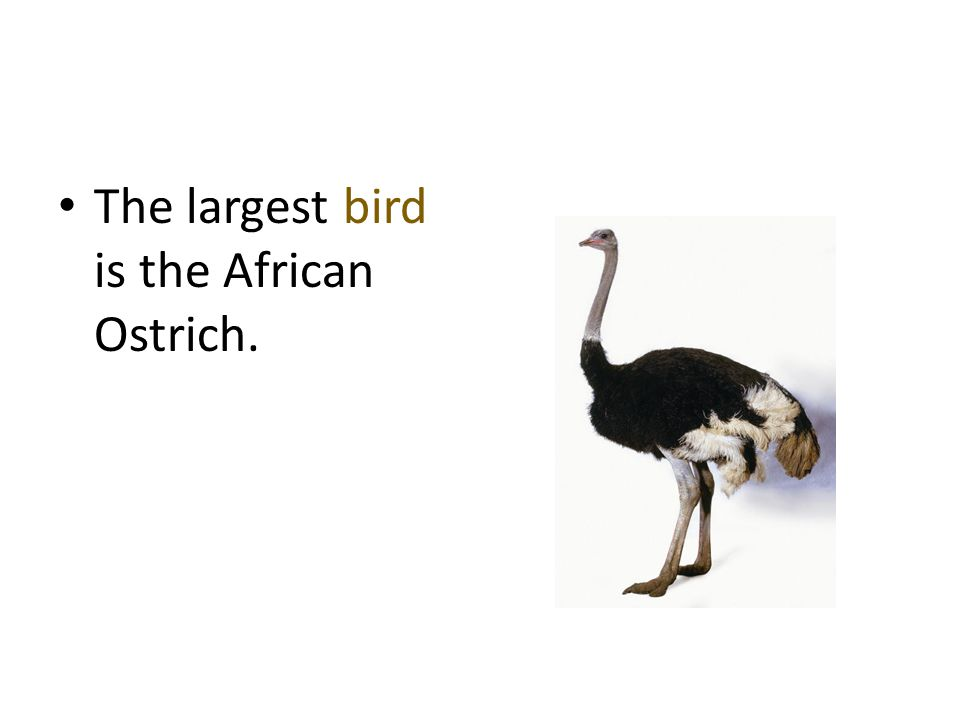 The largest bird is the African Ostrich.
