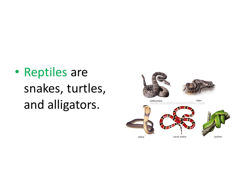Reptiles are snakes, turtles, and alligators.