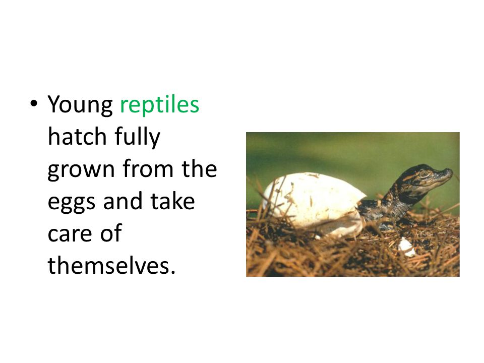 Young reptiles hatch fully grown from the eggs and take care of themselves.