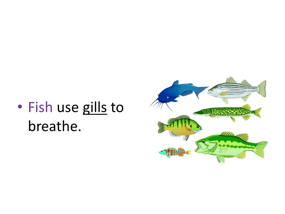 Fish use gills to breathe.