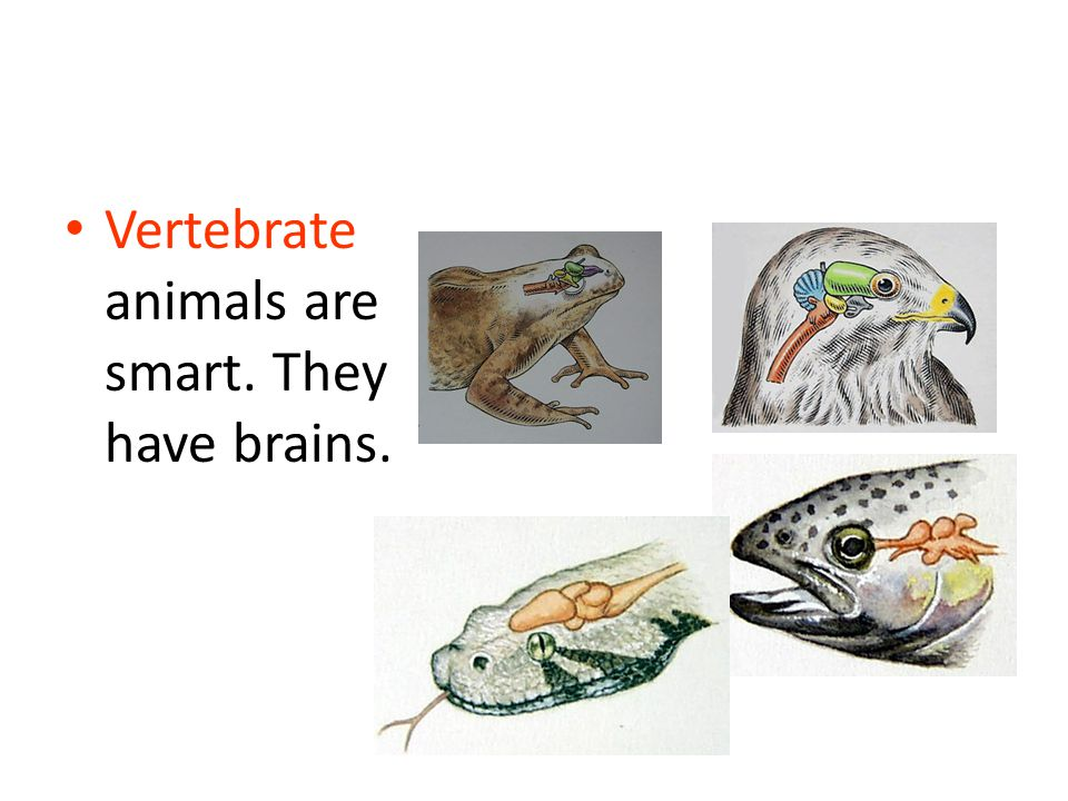 Vertebrate animals are smart. They have brains.