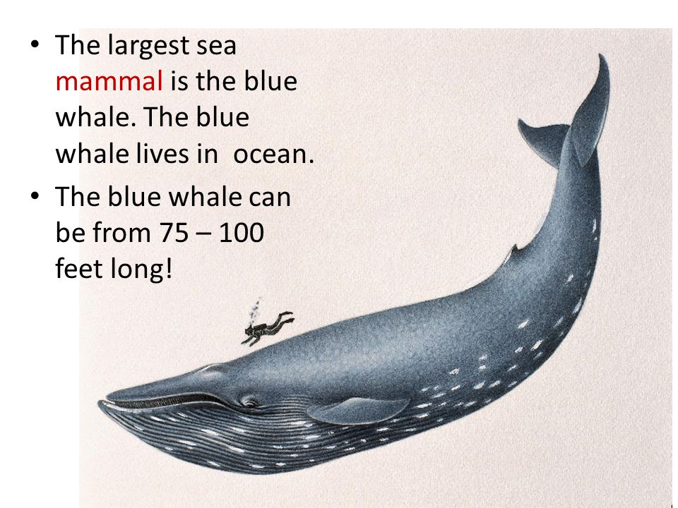 The largest sea mammal is the blue whale. The blue whale lives in ocean.