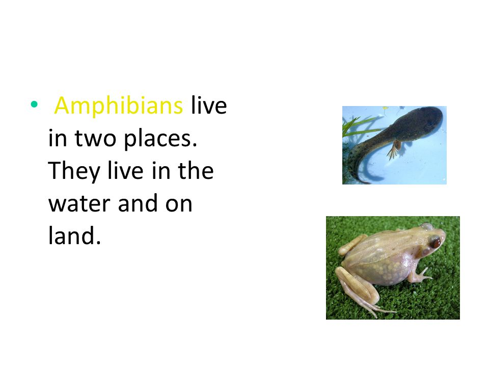 Amphibians live in two places. They live in the water and on land.