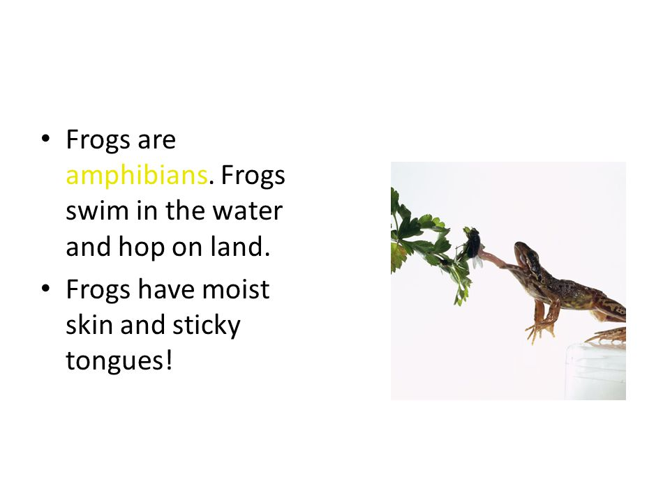 Frogs are amphibians. Frogs swim in the water and hop on land.
