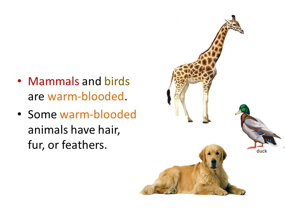 Mammals and birds are warm-blooded.