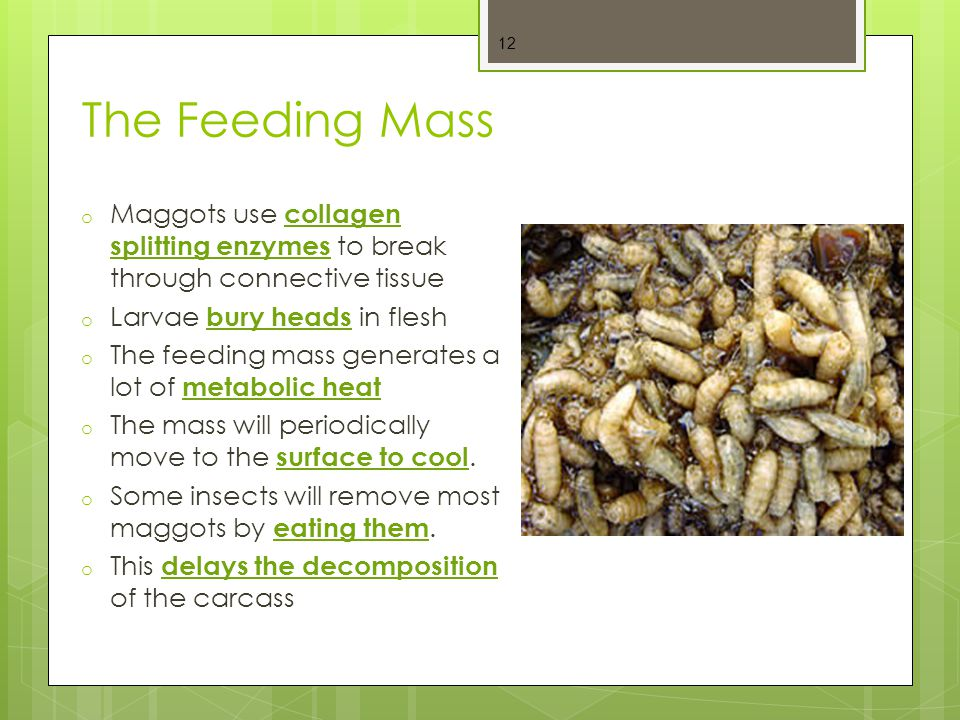 The Feeding Mass Maggots use collagen splitting enzymes to break through connective tissue. Larvae bury heads in flesh.