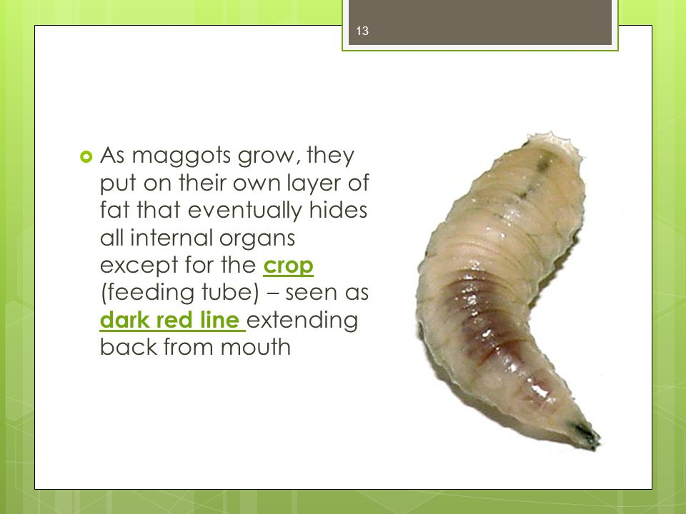 As maggots grow, they put on their own layer of fat that eventually hides all internal organs except for the crop (feeding tube) – seen as dark red line extending back from mouth