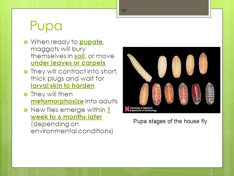 Pupa When ready to pupate, maggots will bury themselves in soil, or move under leaves or carpets.