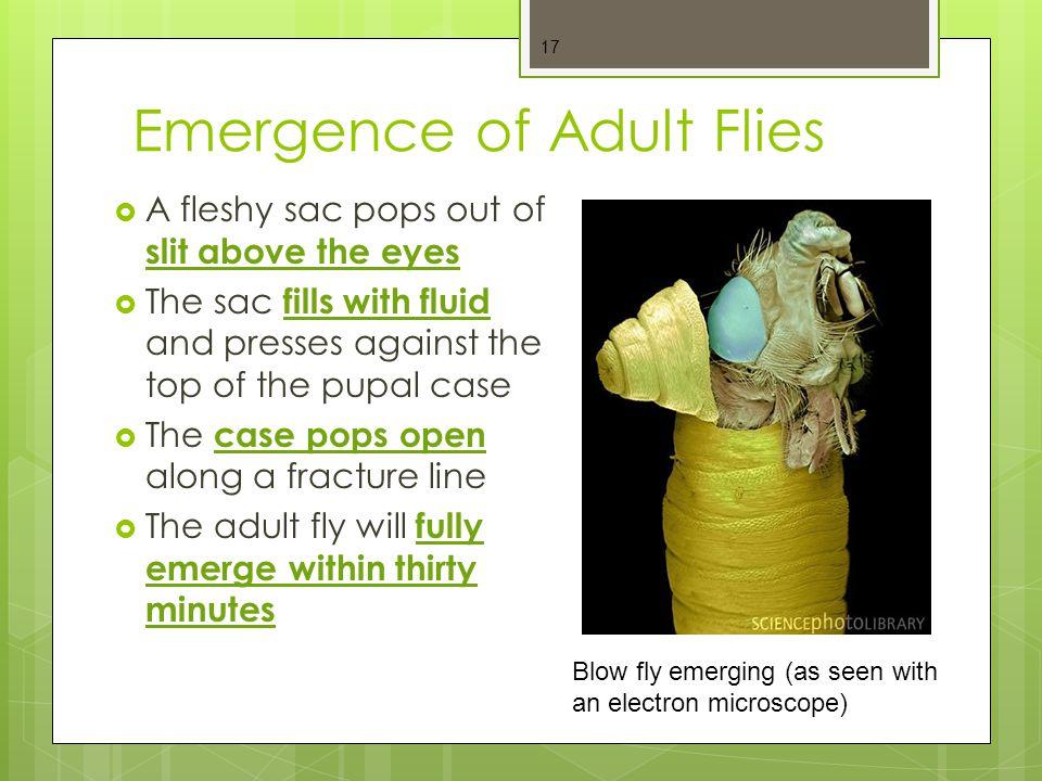 Emergence of Adult Flies