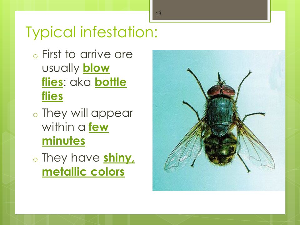 Typical infestation: First to arrive are usually blow flies: aka bottle flies. They will appear within a few minutes.