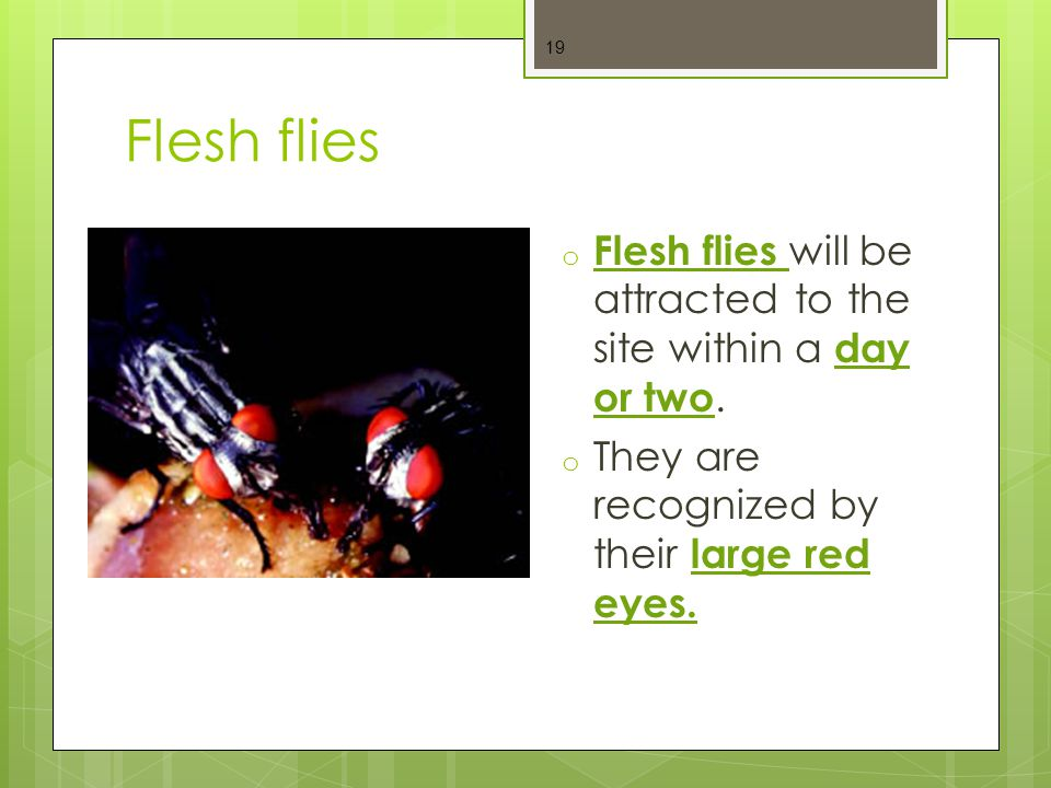 Flesh flies Flesh flies will be attracted to the site within a day or two.