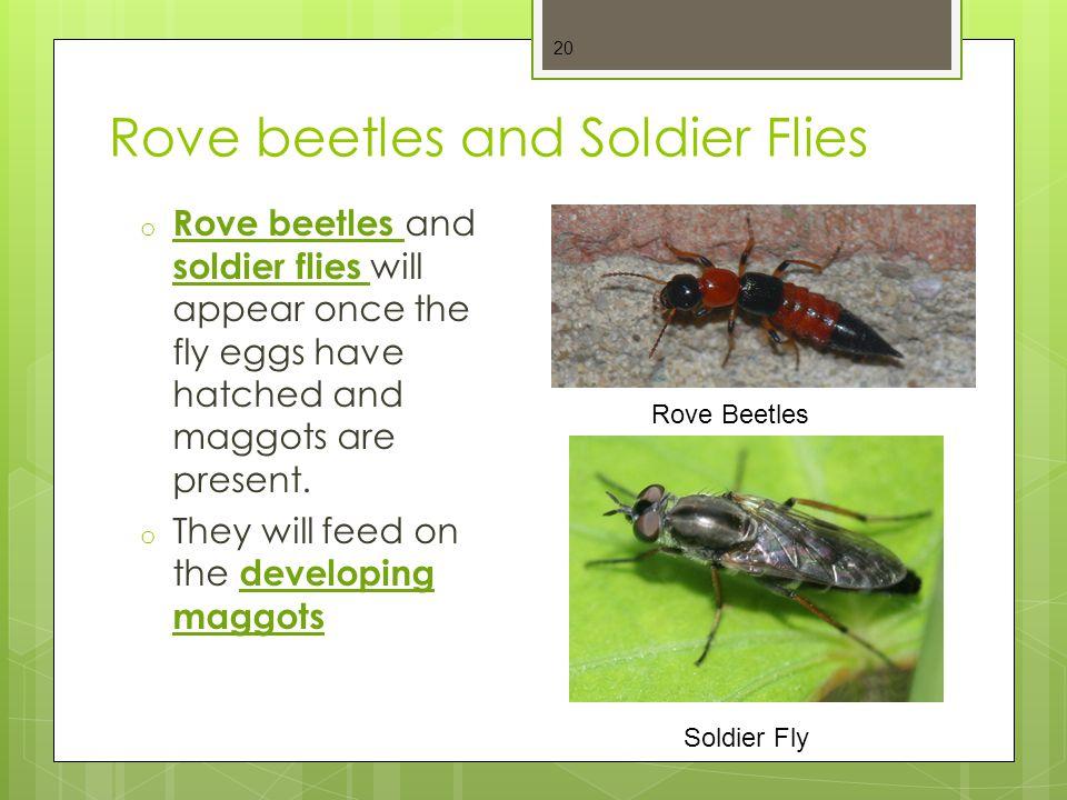 Rove beetles and Soldier Flies