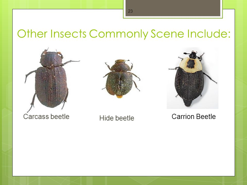 Other Insects Commonly Scene Include: