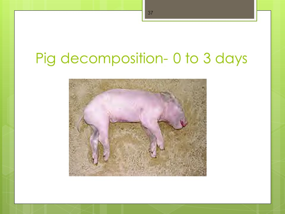 Pig decomposition- 0 to 3 days
