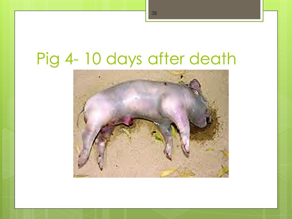 Pig 4- 10 days after death