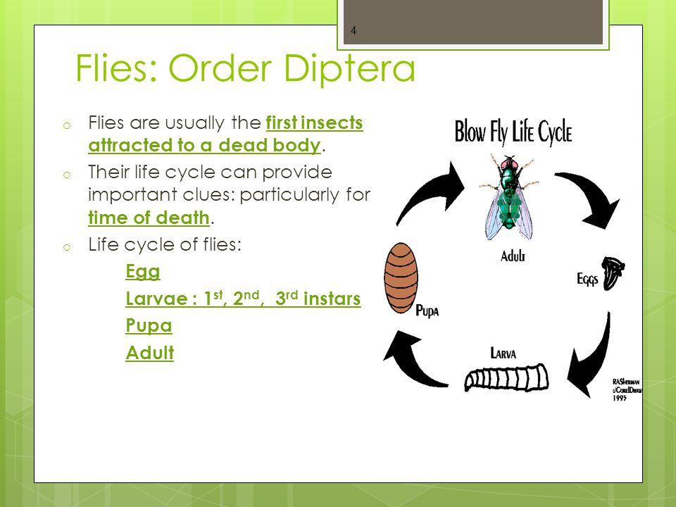 Flies: Order Diptera Flies are usually the first insects attracted to a dead body.