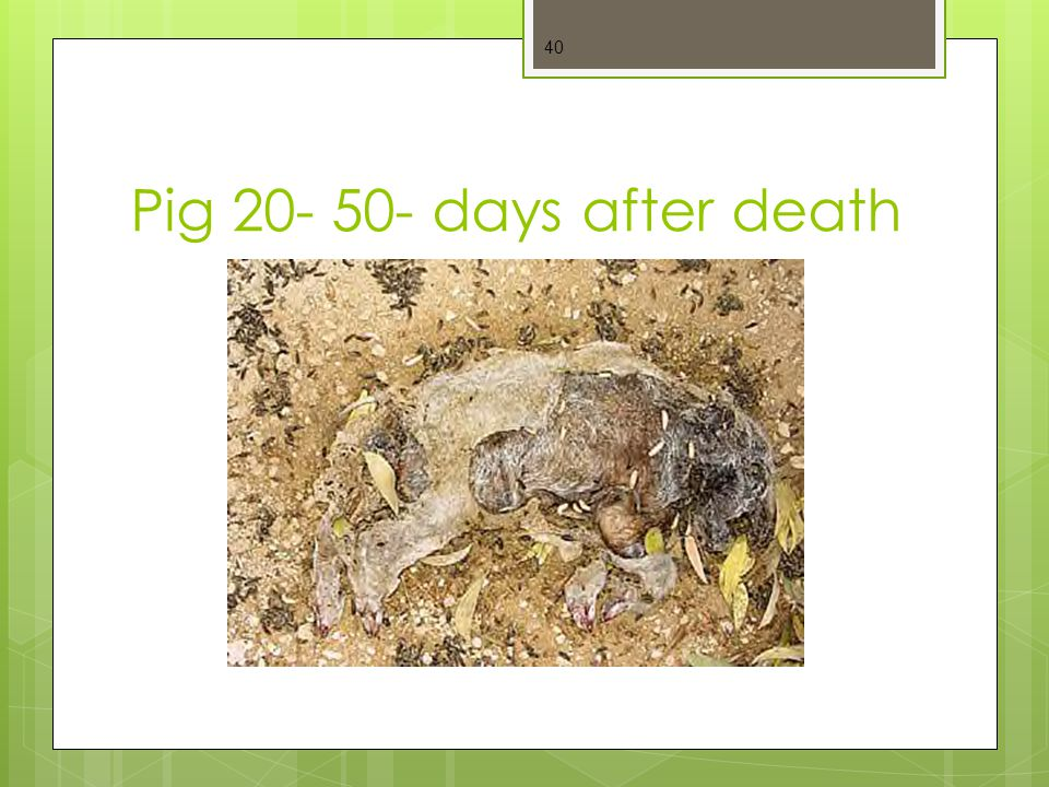 Pig 20- 50- days after death