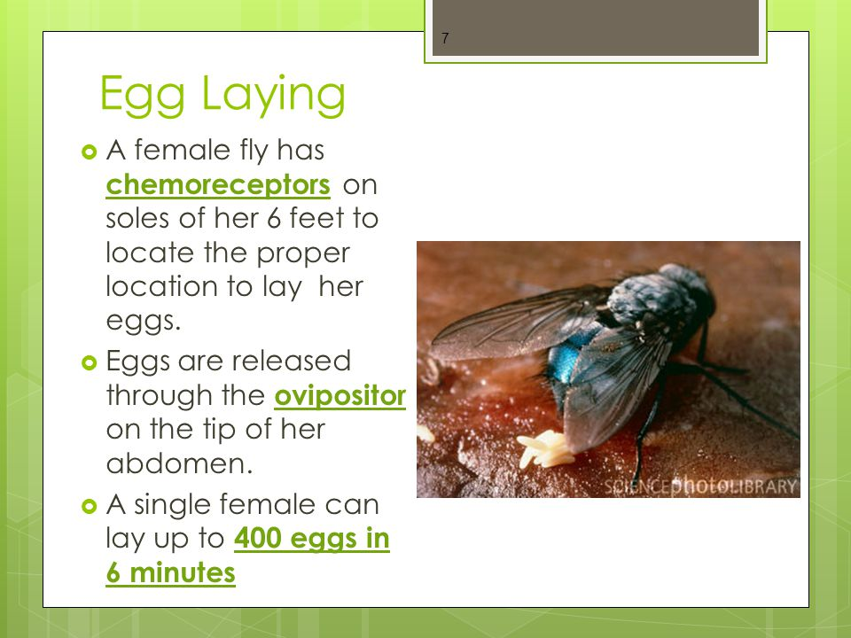 Egg Laying A female fly has chemoreceptors on soles of her 6 feet to locate the proper location to lay her eggs.