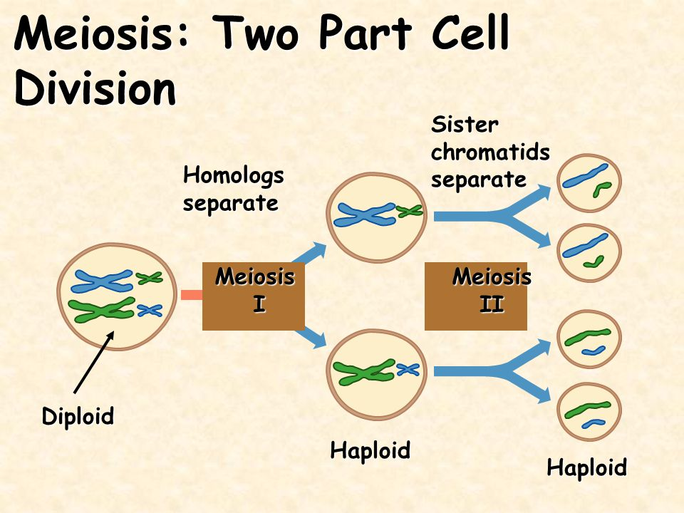 Meiosis: Two Part Cell Division