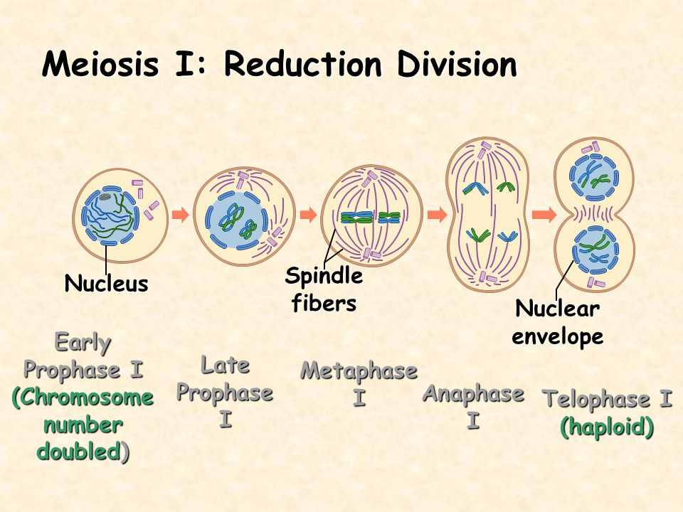 Meiosis I: Reduction Division