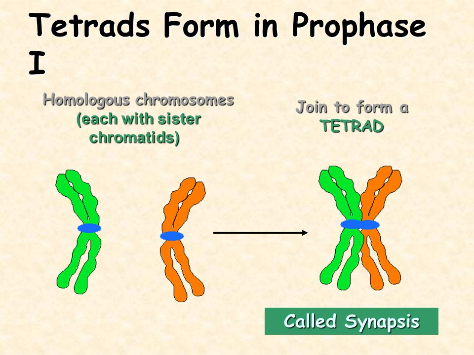 Tetrads Form in Prophase I