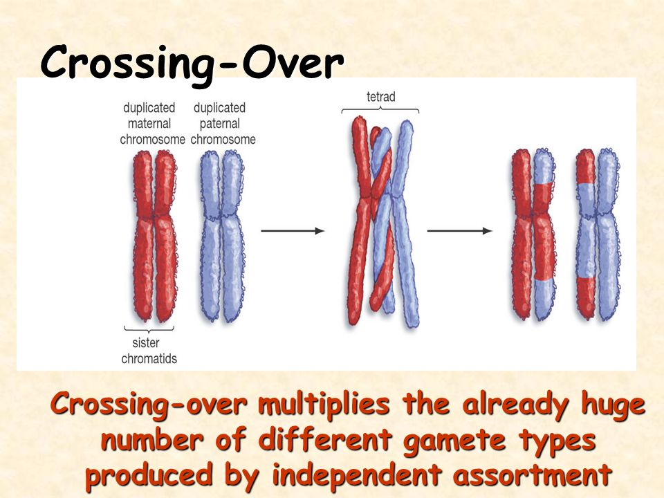 Crossing-Over Crossing-over multiplies the already huge number of different gamete types produced by independent assortment.