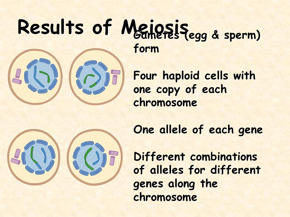 Results of Meiosis Gametes (egg & sperm) form