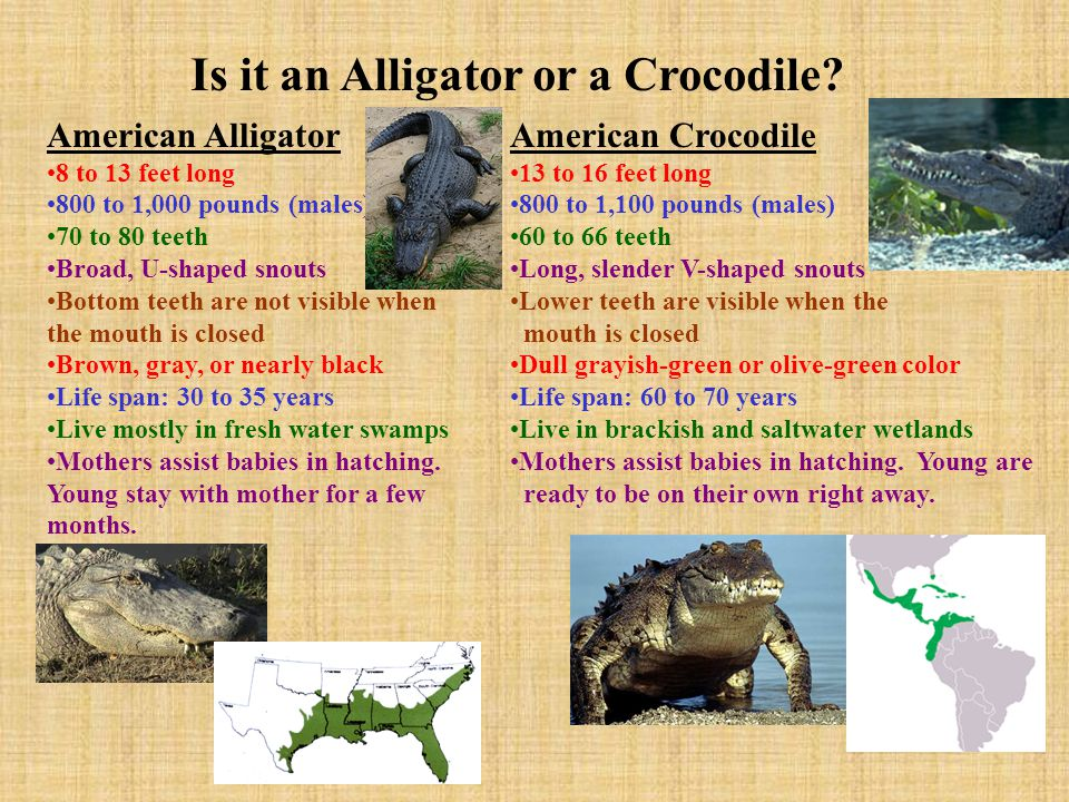 Is it an Alligator or a Crocodile