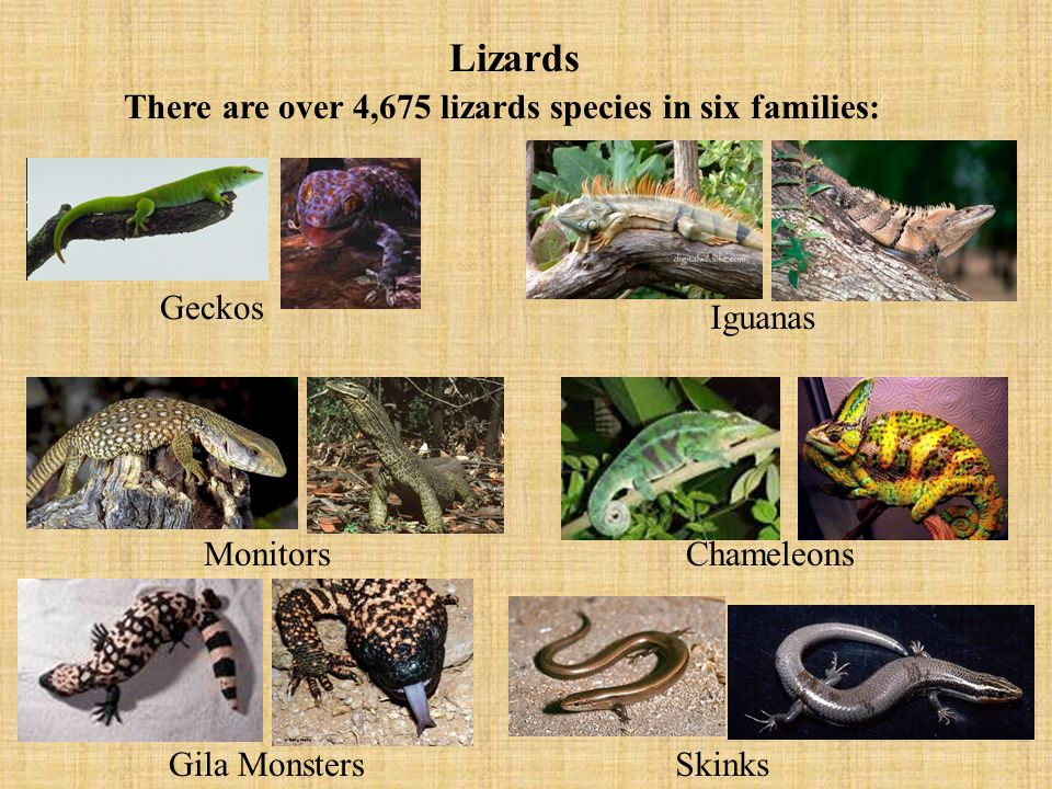 Lizards There are over 4,675 lizards species in six families: Geckos