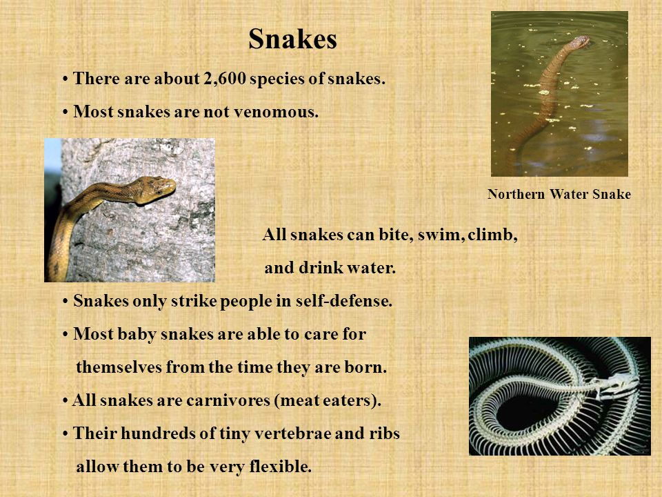 There are about 2,600 species of snakes. Most snakes are not venomous.