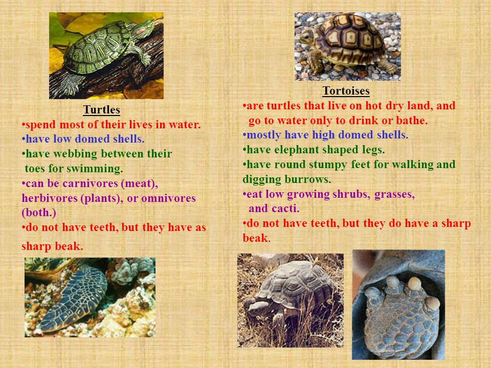 Tortoises are turtles that live on hot dry land, and. go to water only to drink or bathe. mostly have high domed shells.