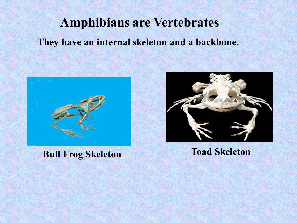 Amphibians are Vertebrates