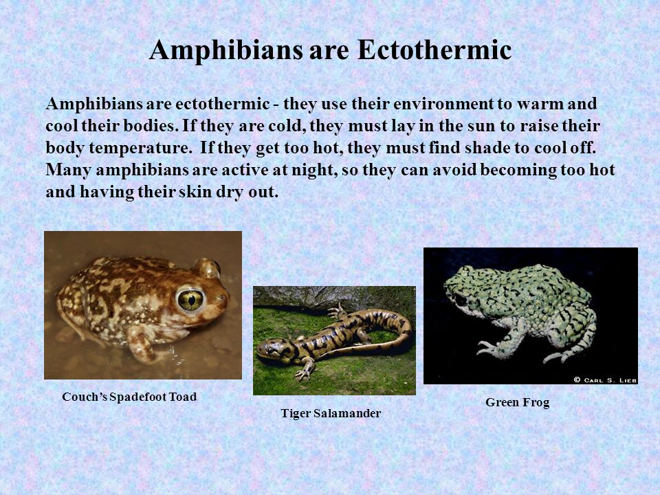 Amphibians are Ectothermic