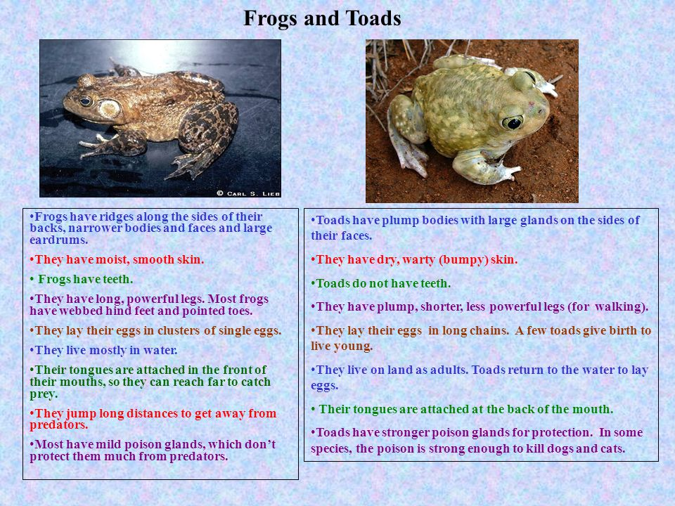 Frogs and Toads Frogs have ridges along the sides of their backs, narrower bodies and faces and large eardrums.