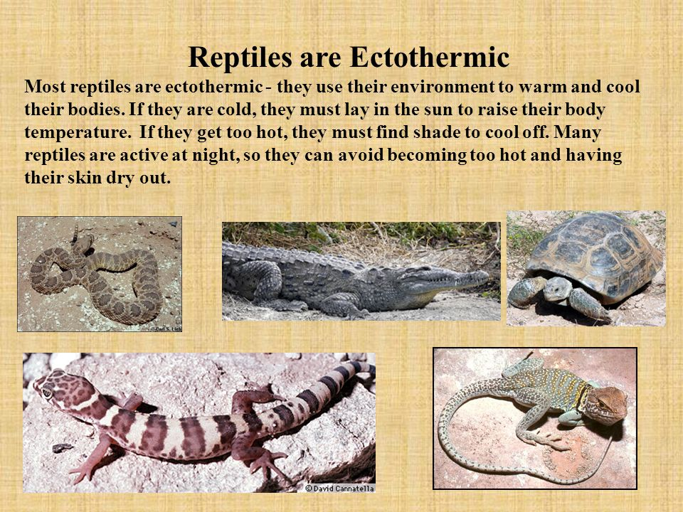 Reptiles are Ectothermic