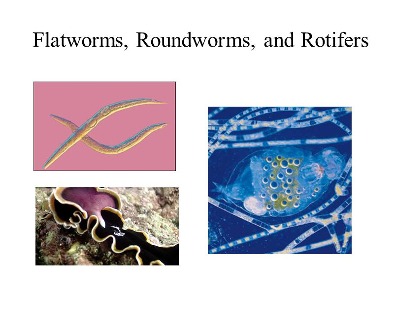 Flatworms, Roundworms, and Rotifers