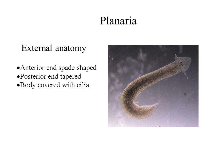 Planaria External anatomy Anterior end spade shaped