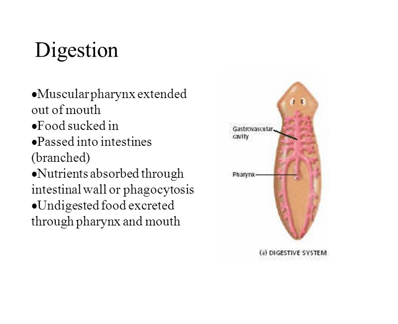 Digestion Muscular pharynx extended out of mouth Food sucked in