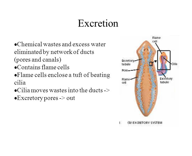 Excretion Chemical wastes and excess water eliminated by network of ducts (pores and canals) Contains flame cells.