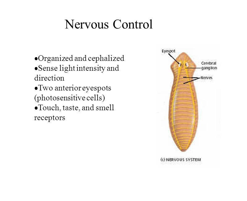 Nervous Control Organized and cephalized