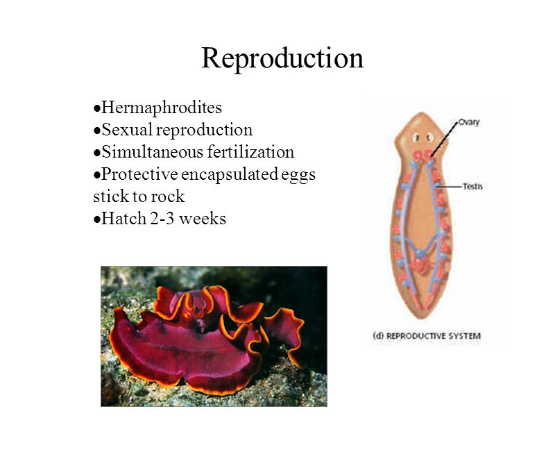 Reproduction Hermaphrodites Sexual reproduction